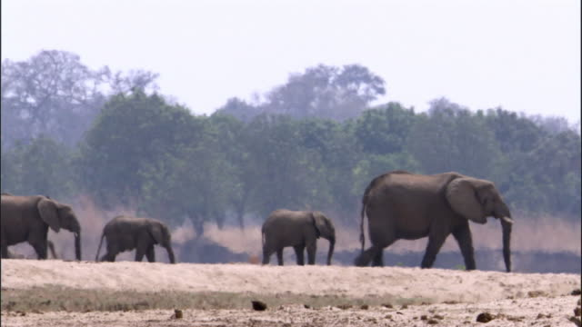 african elephants (loxodonta africana) walk in heat haze, luangwa, zambia - animal family stock videos and b-roll footage