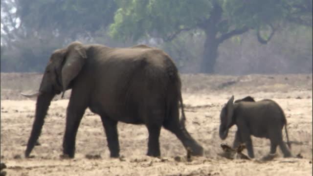 african elephants (loxodonta africana) walk in heat haze, luangwa, zambia - herd stock videos & royalty-free footage