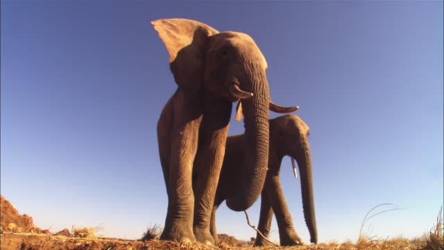 la ms 2 african elephants walk up very close to camera - grodperspektiv bildbanksvideor och videomaterial från bakom kulisserna