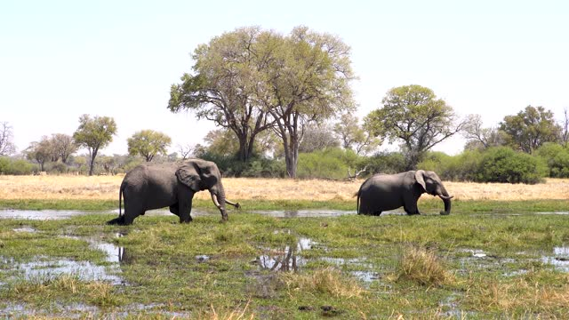 african elephants walking across the river surrounded by trees. - 厚皮動物点の映像素材/bロール