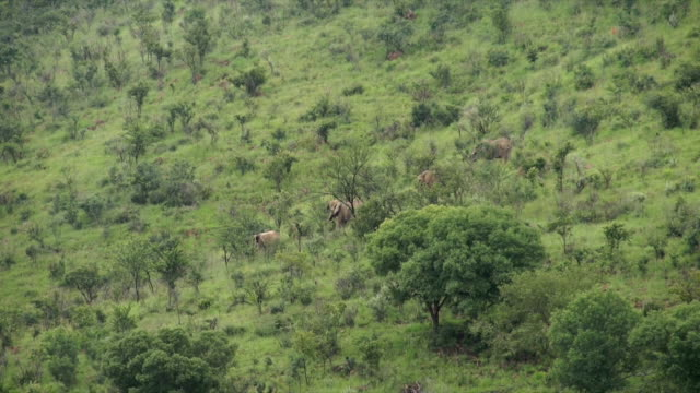 MS AERIAL African elephants walking down and grazing along grassy hill / Pilanesberg National Park/ North West Province/ South Africa