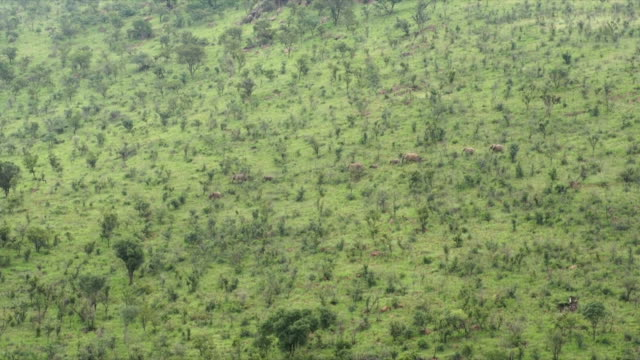 MS AERIAL African elephants walking down grassy hill / Pilanesberg National Park/ North West Province/ South Africa