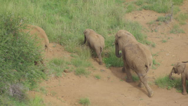 MS AERIAL TS African Elephants walking in national park / Kenya