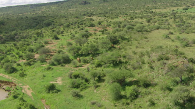WS AERIAL African Elephants walking in national park / Kenya