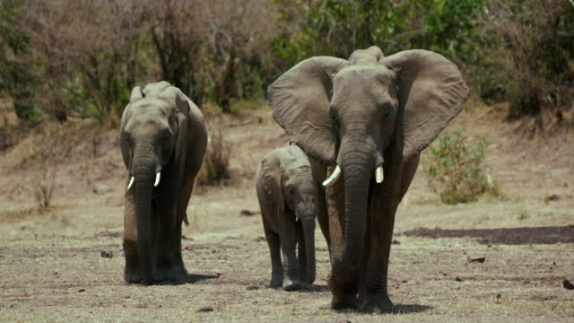 african elephants walking maasai mara  kenya  africa - elephant stock videos & royalty-free footage