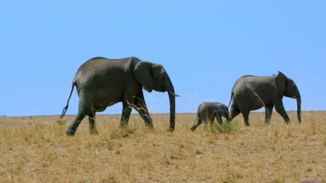 african elephants walking maasai mara  kenya  africa - drei tiere stock-videos und b-roll-filmmaterial