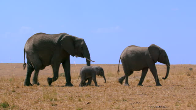 african elephants walking maasai mara  kenya  africa - tiergruppe stock-videos und b-roll-filmmaterial