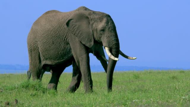vídeos y material grabado en eventos de stock de african elephants walking maasai mara, kenya, africa - reserva nacional de masai mara