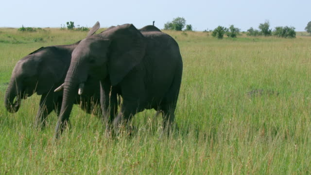 stockvideo's en b-roll-footage met african elephants walking, masai mara, kenya, africa - neus van een dier
