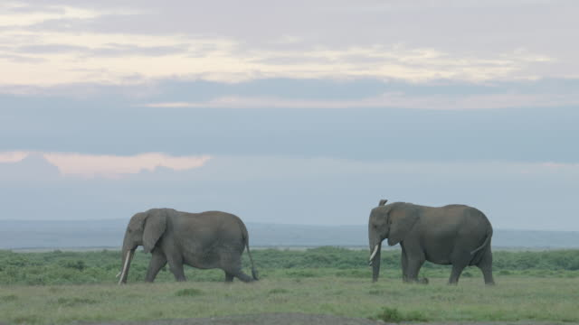 ws ts african elephants walking on savanna landscape at dusk / kenya - 2匹点の映像素材/bロール