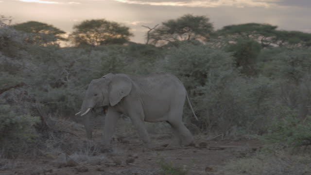 ms pan african elephants walking on savanna landscape / kenya - zoology stock videos and b-roll footage