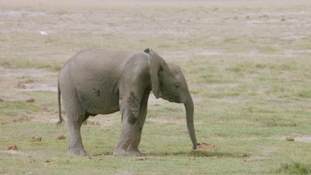 vidéos et rushes de ms pan african elephants walking on savanna landscape / kenya - éléphanteau