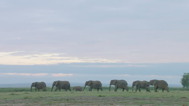 ws ts african elephants walking on savanna landscape / kenya - elephant stock videos & royalty-free footage