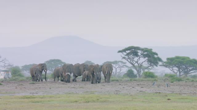 WS African Elephants walking on savanna landscape / Kenya