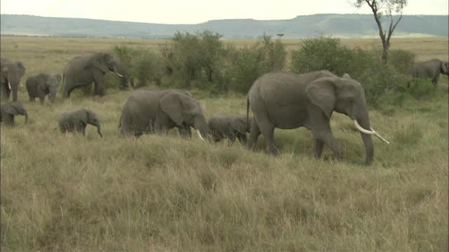 MS, TS, African Elephants walking through grasslands, Masai Mara National Reserve, Kenya, Africa