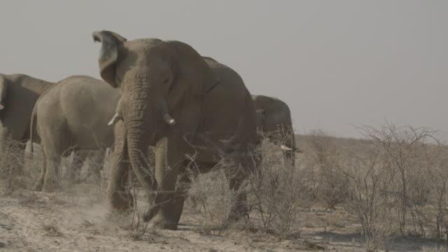 African Elephants Wild