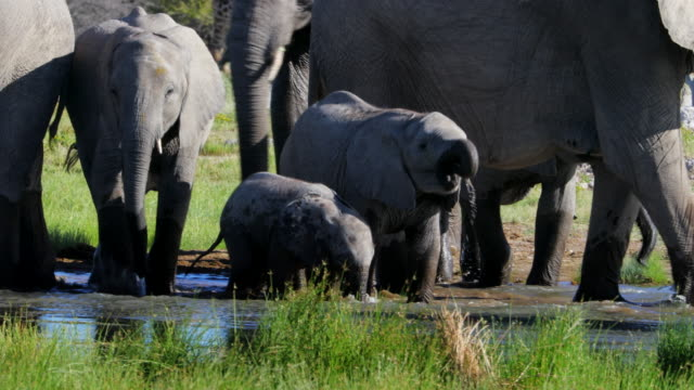african elephants with babies drinking from pond - herd stock videos & royalty-free footage