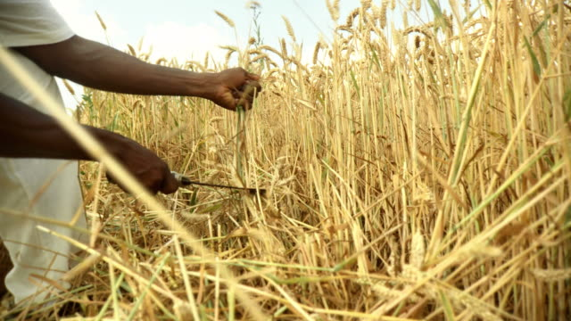 hd: african farmer reaping wheat - scythe stock videos and b-roll footage