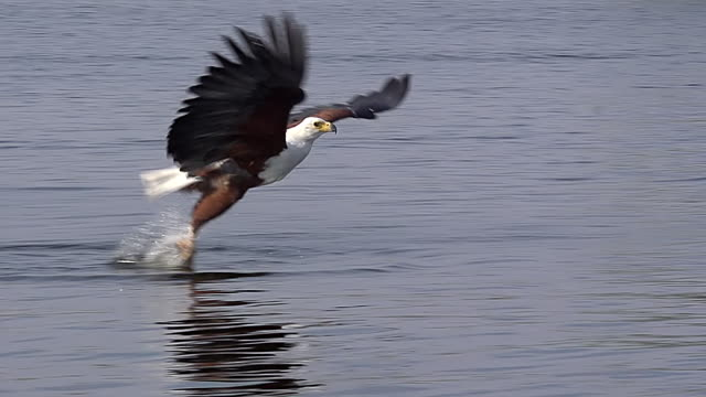 vídeos de stock, filmes e b-roll de ms slo mo ts african fish eagle (haliaeetus vocifer) adult in flight, fishing at chobe river at okavango delta / chobe game reserve, africa, botswana - pegar