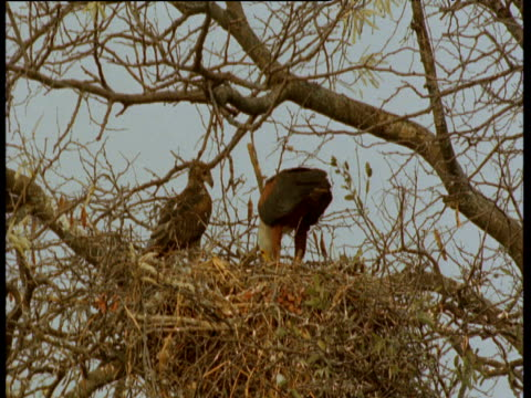 stockvideo's en b-roll-footage met african fish eagle and juvenile at eyrie - african fish eagle