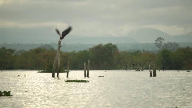 stockvideo's en b-roll-footage met african fish eagle bij lake naivasha - african fish eagle