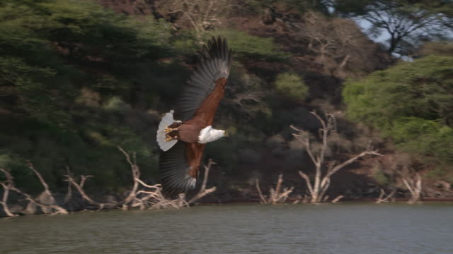 vídeos de stock e filmes b-roll de african fish eagle catches fish from lake in slow motion - apanhar comportamento animal