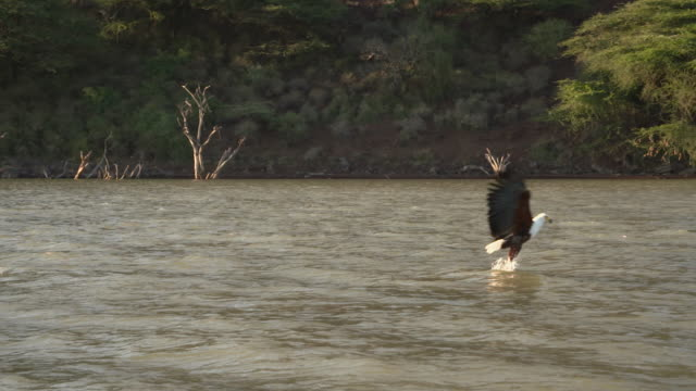 African fish eagle catches fish from lake in slow motion
