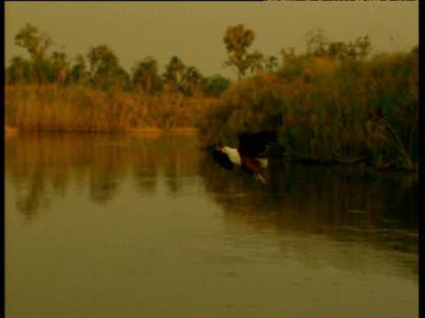 stockvideo's en b-roll-footage met african fish eagle catches fish - african fish eagle