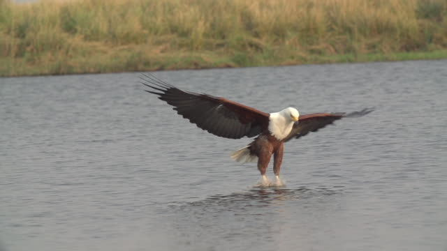 MS SLO MO TS African Fish Eagle Catching Tiger Fish / Chobe River, Chobe, Botswana