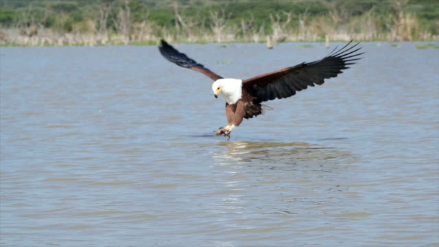 african fish eagle dives for a fish, lake baringo, kenya/ slow motion - african fish eagle stock videos & royalty-free footage