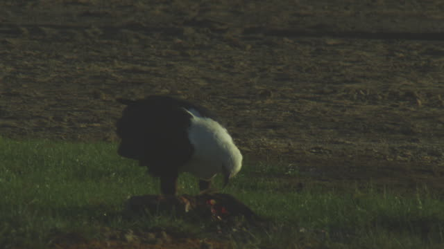 MS African Fish eagle feeds on flamingo carcase on grass