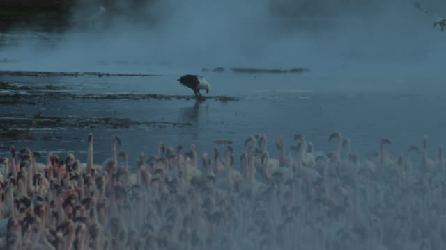 African Fish eagle feeds  with Lesser flamingo flock and steam in foreground