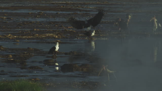 african fish eagle feeds with steam in foreground the second eagle flies at it and squabbles over carcase - medium group of animals stock videos & royalty-free footage