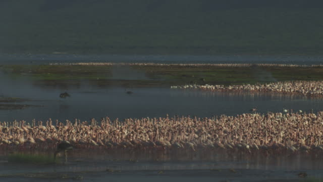 vidéos et rushes de ws african fish eagle flies over huge flock of lesser flamingoes who run away  - groupe d'animaux