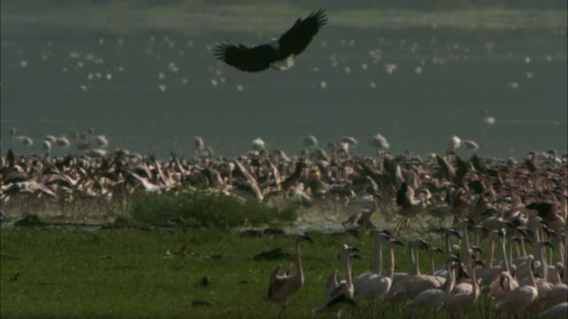 SLOMO WS African fish eagle hovers over stampeding Lesser Flamingoes