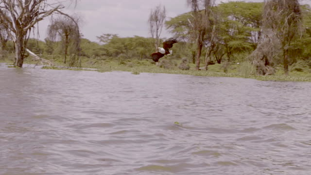 african fish eagle in lake naivasha, kenya - african fish eagle stock videos & royalty-free footage