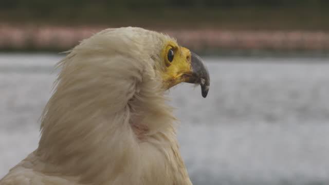 vídeos de stock e filmes b-roll de cu african fish eagle in profile looks around then takes off - boca de animal
