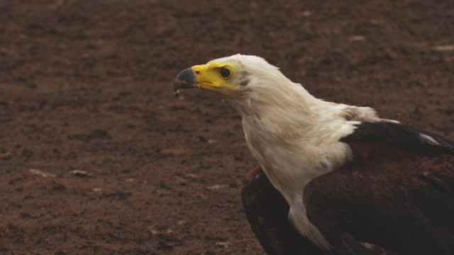 CU African Fish Eagle in profile takes off from ground