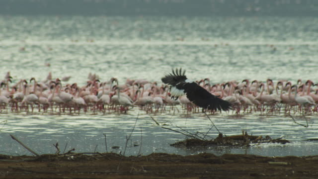 african fish eagle lands on branch with flamingo flock in background - african fish eagle stock videos & royalty-free footage
