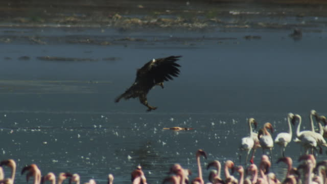 African Fish Eagle lands on flamingo carcase with flamingo flock in foreground and heat haze
