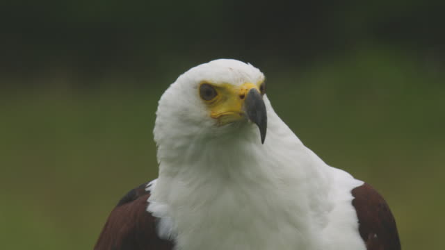 stockvideo's en b-roll-footage met cu african fish eagle looks around and ducks out of frame - african fish eagle