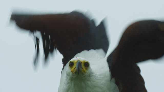 cu african fish eagle looks around then takes off through top of frame - african fish eagle stock videos & royalty-free footage