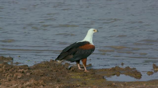 stockvideo's en b-roll-footage met african fish eagle nairobi  kenya  africa - african fish eagle