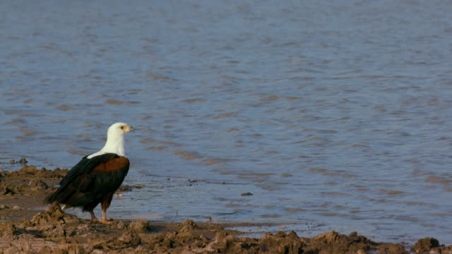 african fish eagle nairobi  kenya  africa - african fish eagle stock videos & royalty-free footage