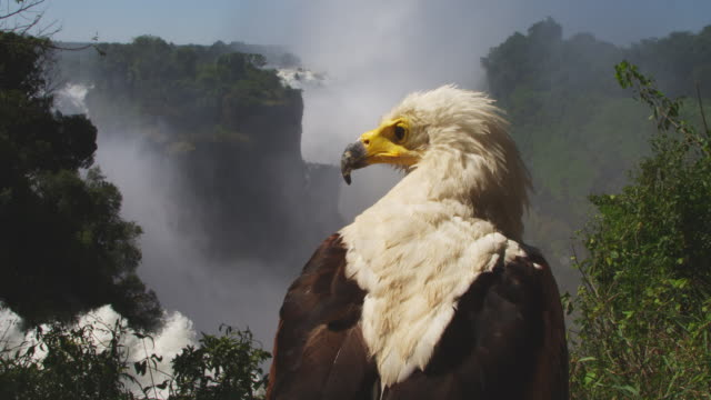 cu african fish eagle perched looking around over victoria falls - victoria falls stock videos and b-roll footage