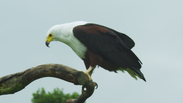stockvideo's en b-roll-footage met ms african fish eagle perched on branch then flies off away from camera - african fish eagle