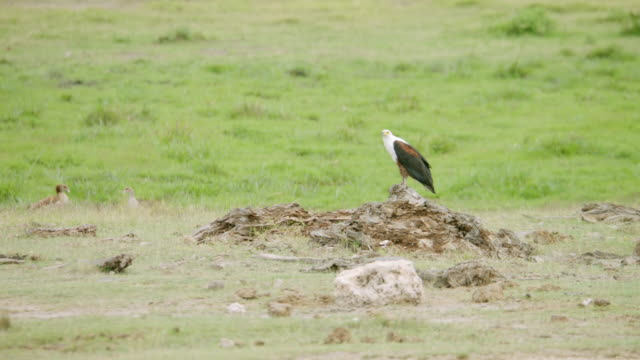MS African Fish Eagle preening on rock / Kenya