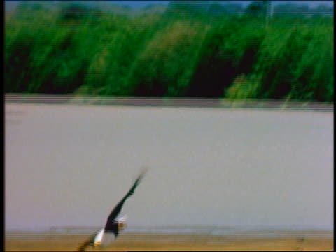 PAN African fish eagle swooping down + grabbing fish from water / Africa