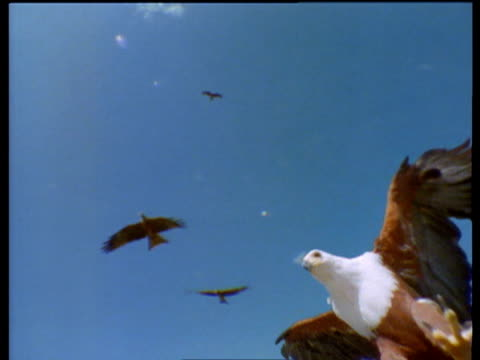 stockvideo's en b-roll-footage met african fish eagle swooping down to land. africa - african fish eagle