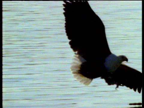 african fish eagle swoops down and catches fish from lake, lands in a tree and feeds, africa - african fish eagle stock videos & royalty-free footage